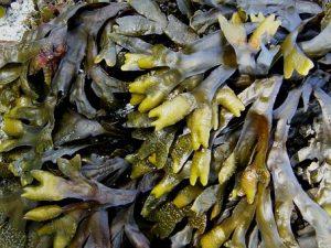 Genuine Seaweed Shaving Products